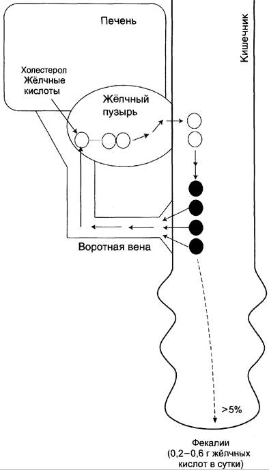 Роль холестерола в организме. Пластические функции фосфолипидов и холестерола