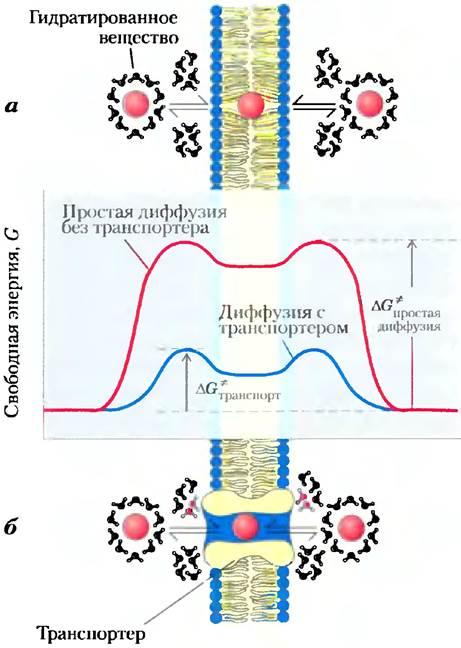 Мембранные транспортеры электрическая схема т5 транспортер