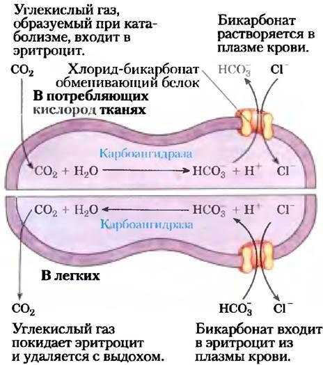 Глюкозо натриевый ко транспортер это транспортер салон