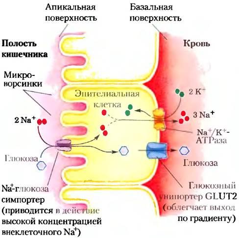 глюкозо натриевый ко транспортер это
