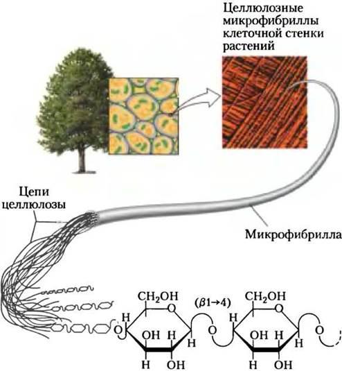 Целлюлоза в клетке картинки