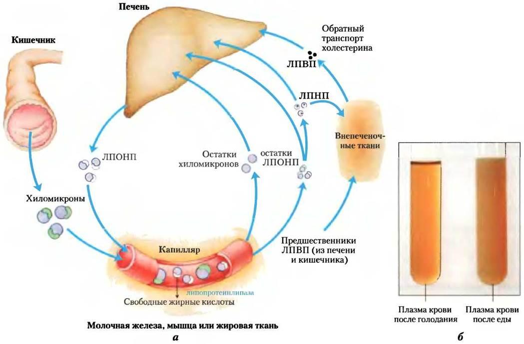 транспортерами холестерина