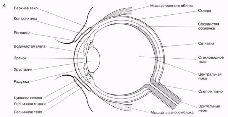 настоящее схема строения глаза человека в хорошем качестве шерсти, акрила микрофибры