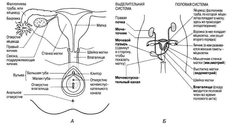 Анатомия женских органов картинках