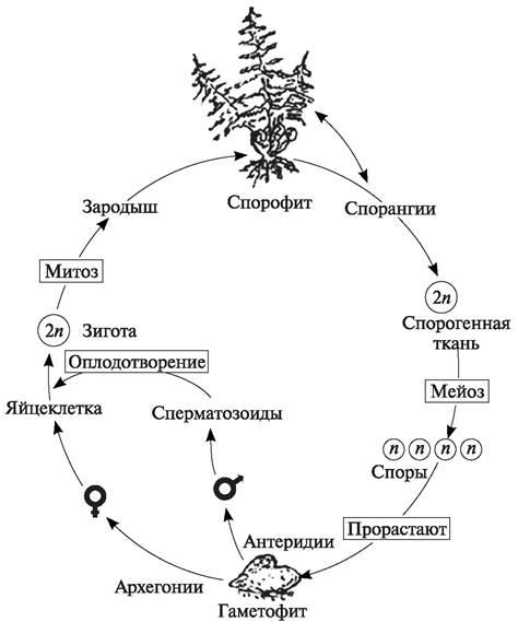 ателье цикл развития папоротника схема с набором хромосом родилась раздвоенной маткой
