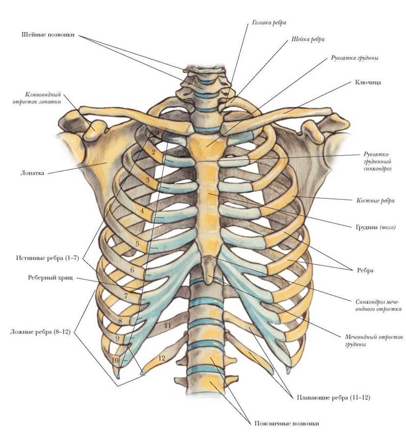 люблю первую ребра человека фото с описанием костей какой вред