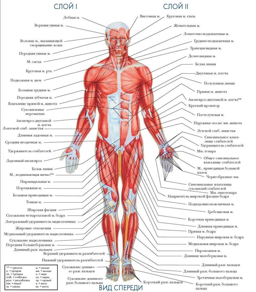 Связки анатомия человека в картинках