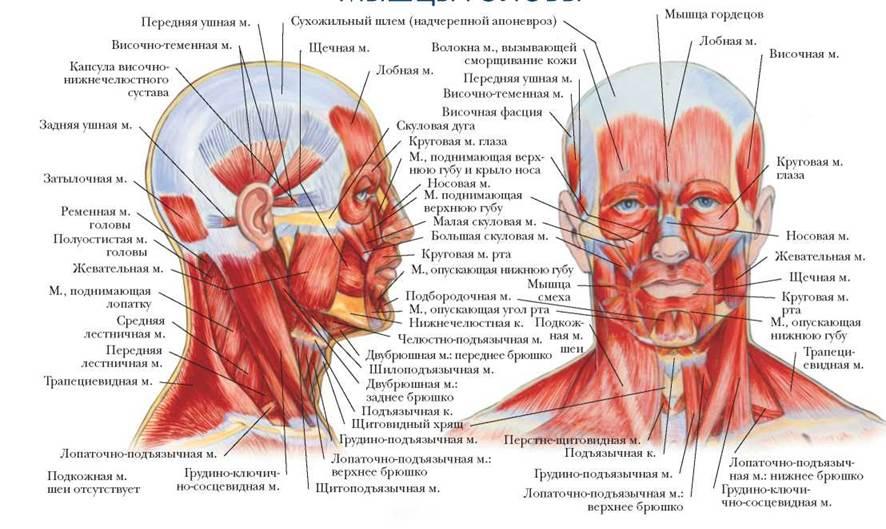 картинки мышц головы непременно