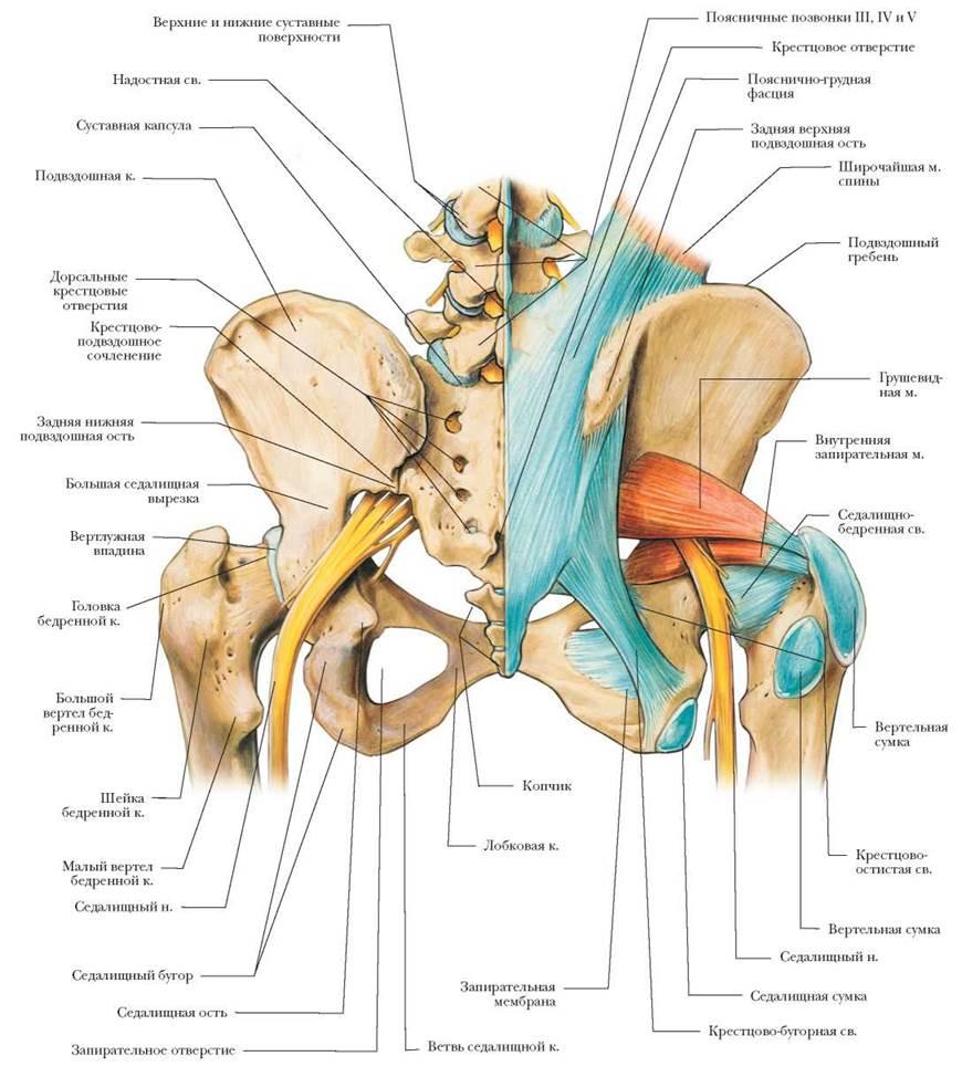Где находится седалищный нерв ( фото )