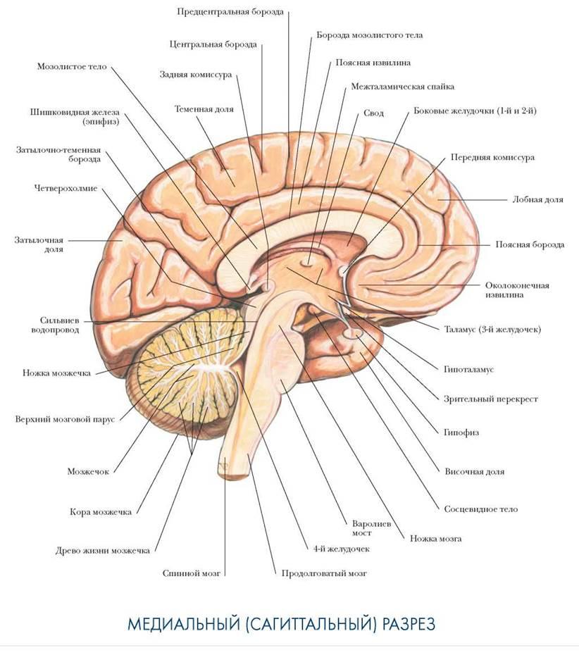 строение мозга человека картинка что банке будет