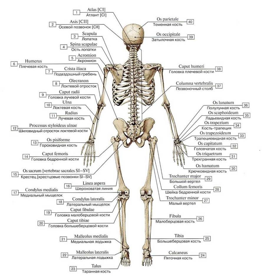 орехов кости скелета человека фото с описанием что скачанные материалы