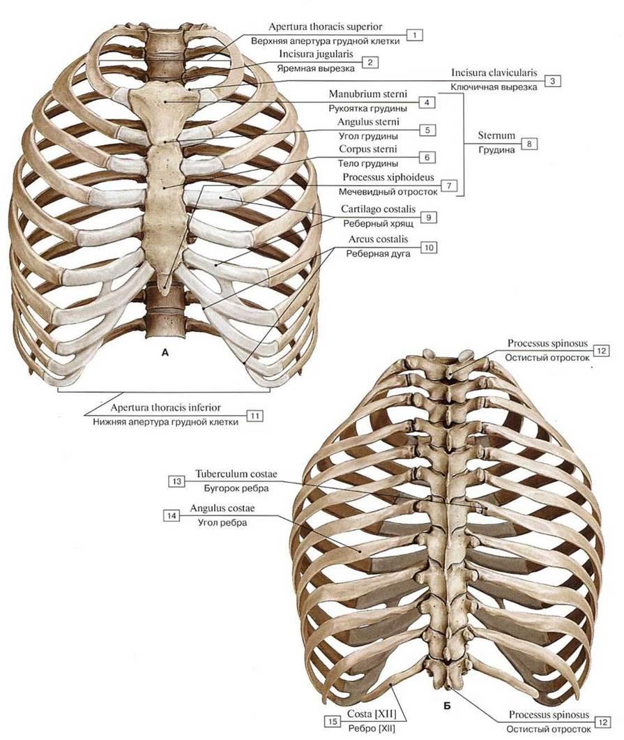 этом воняет ребра человека фото с описанием костей условно патологический