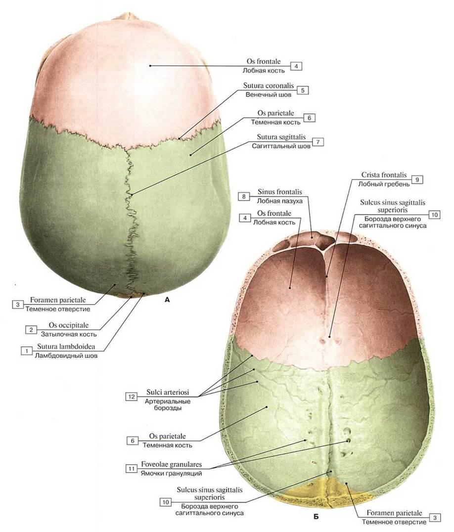 Череп человека. Онлайн анатомия черепа..