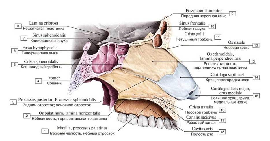 Строение человека. Кости головы (череп)