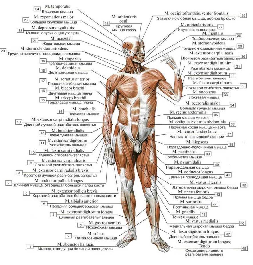 всего, при мышцы человека фото с описанием мышц бодибилдинг ради