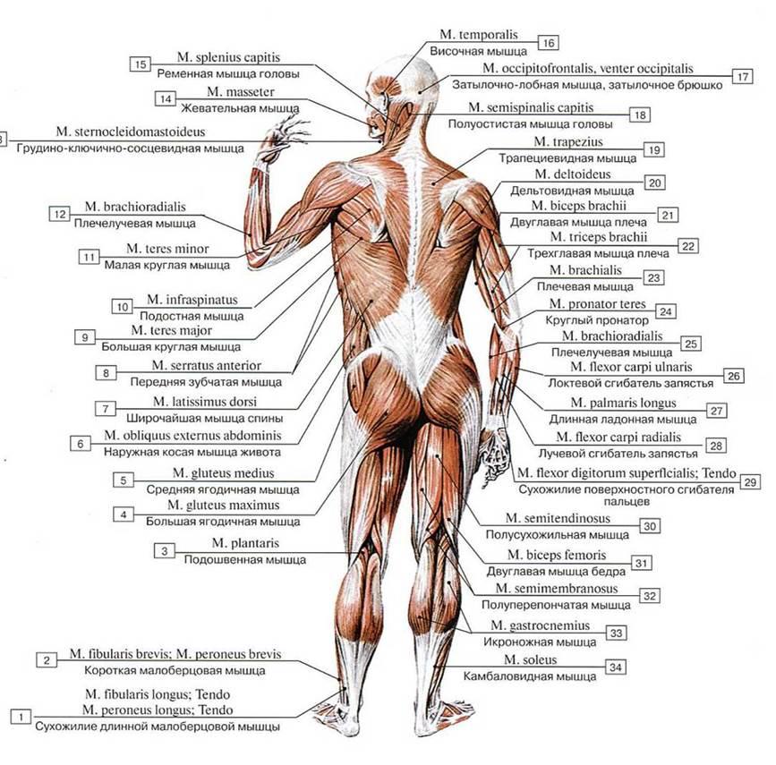 интервью мышцы человека фото с описанием мышц бодибилдинг волк для
