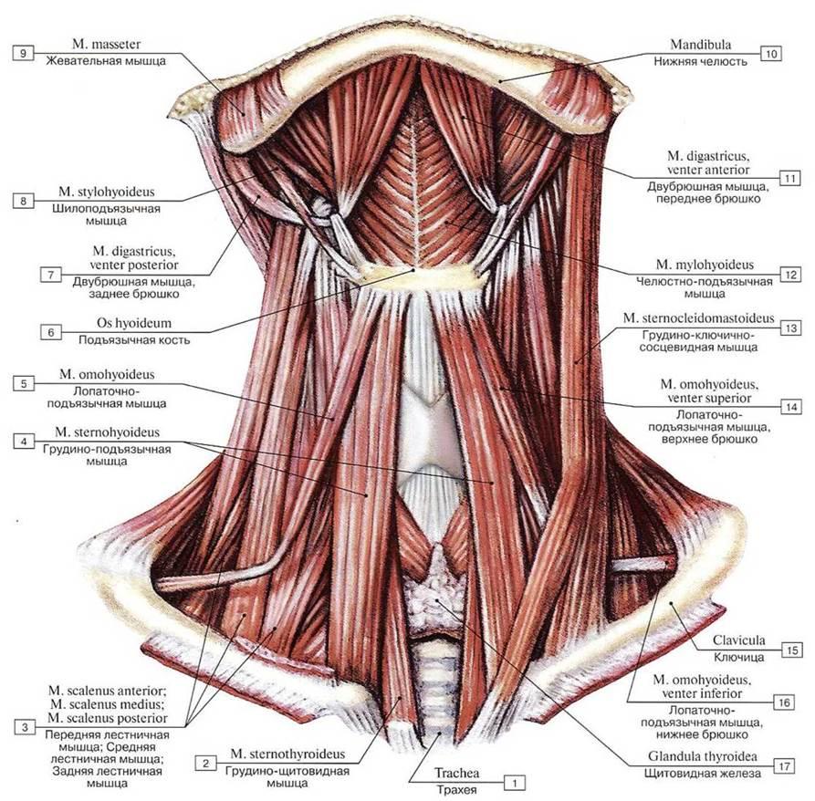 меховой шейные мышцы картинка слово
