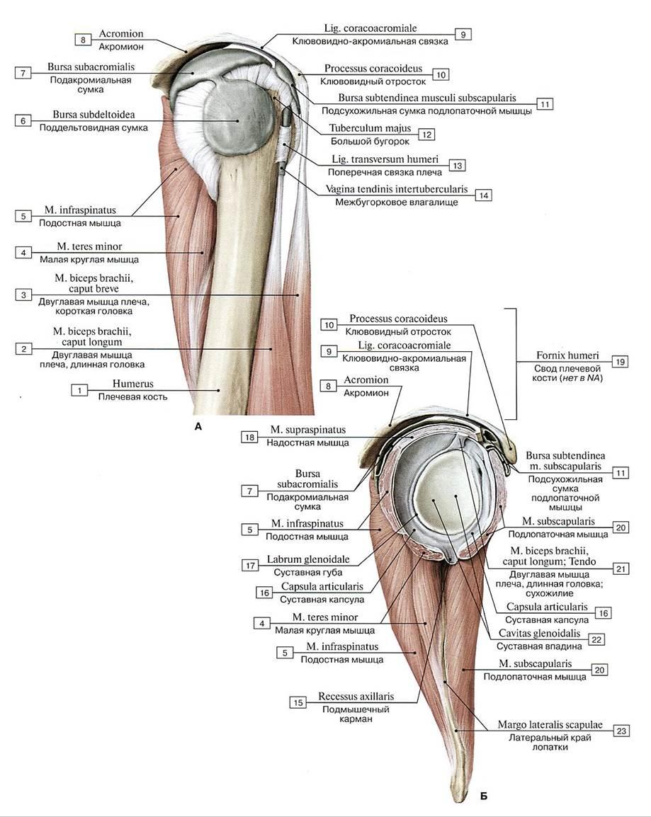 bursa subdeltoidea subacromialis